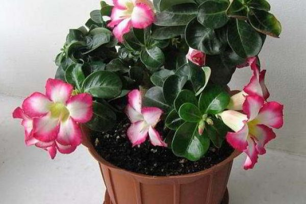 неприхотливые комнатные цветущие растения фото и название