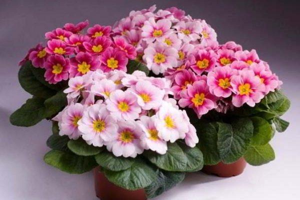 фото комнатные цветущие растения