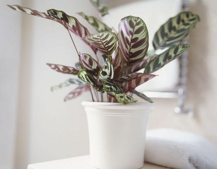 Растение пеларгония душистая или герань душистая, лечебные свойства